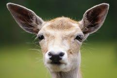 Deer portrait Stock Images