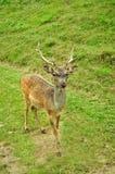 Deer portrait royalty free stock photos