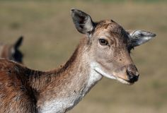 Deer portrait Royalty Free Stock Image