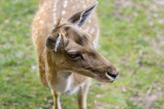 Deer portrait. Outdoor head portrait of a staring deer in front of green grass background royalty free stock image