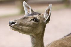 Deer portrait Stock Photos