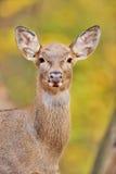 Deer portrait Stock Photography
