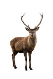 Deer portrait. Scottish red deer stag isolated on white Stock Photography
