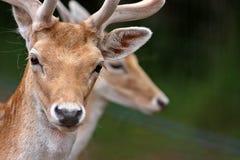 Deer Portrait. A closeup portrait of a European deer Royalty Free Stock Images