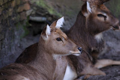 Deer portrait. Two deers resting on the pasture Stock Photos