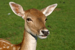 Deer Portrait. Portrait of a fallow deer royalty free stock photos