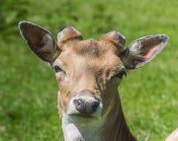 Deer portrait Royalty Free Stock Photo