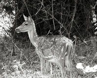 Deer portrait in b/w Royalty Free Stock Photo