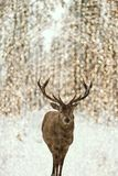 Deer Portrait, Bokeh Lights, Snow Forest royalty free stock photos