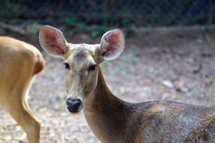 Deer Portrait Close Up View Royalty Free Stock Photography