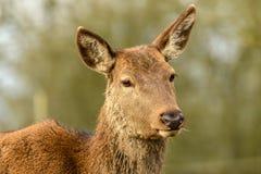 Deer portrait Royalty Free Stock Image
