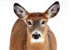 Deer portrait isolated Royalty Free Stock Photography