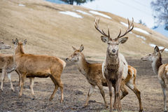 Deer portrait while looking at you Royalty Free Stock Photo