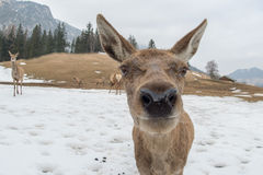 Deer portrait while looking at you Royalty Free Stock Image