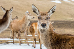 Deer portrait while looking at you Stock Image