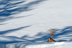 Deer portrait in the snow background Stock Photography