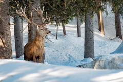 Deer portrait in the snow background Royalty Free Stock Photos