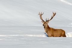 Deer portrait in the snow background Royalty Free Stock Images