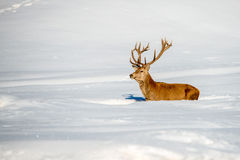 Deer portrait on the snow background Stock Images
