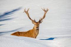 Deer portrait on the snow background Royalty Free Stock Photo