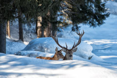 Deer portrait on the snow background Royalty Free Stock Photography