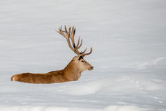 Deer portrait on the snow background Stock Photos