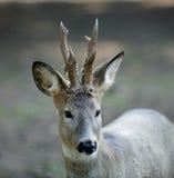 Deer - portret Stock Image