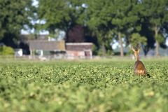 Deer in a potato field. Looking towards the road, Netherlands Stock Photos