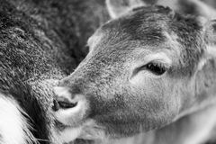 Deer potrait, animal face portrait Royalty Free Stock Photos