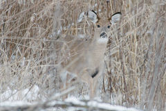 Deer Prairie Royalty Free Stock Photos