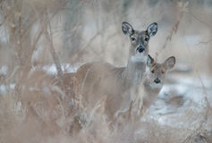 Deer Prairie Stock Photography