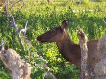 Deer profile royalty free stock images