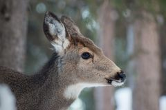 Deer Profile Portrait. A profile head shot of a deer standing in a conifer forest in the middle of winter stock images