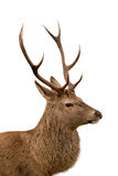 Deer profile. Side profile of Scottish red deer stag isolated on white stock images