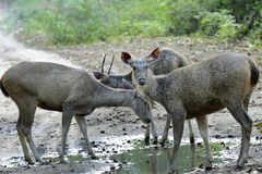 Deer at puddle. Sambar deer-Scientific name is cervus unicolor- to drink puddle left on forest path way-one deer takes vigil- Jim Corbett National Park Royalty Free Stock Photos