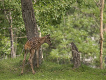 Deer puppy looking for food Royalty Free Stock Photo