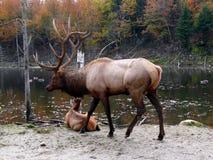 Deer in Quebec. Canada, north America. Deer in Quebec. Canada north America stock photography