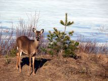 Deer in Quebec. Canada, north America. Deer in Quebec. Canada north America royalty free stock images