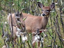 Deer in Quebec. Canada, north America. Stock Photo