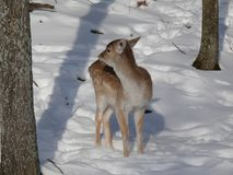 Deer in Quebec. Canada, north America. Deer in Quebec. Canada north America stock image