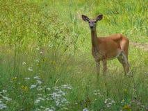 Deer in Quebec. Canada, north America. Deer in Quebec. Canada north America royalty free stock photo