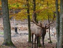 Deer in Quebec. Canada, north America. Deer in Quebec. Canada north America stock image