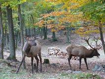 Deer in Quebec. Canada, north America. Deer in Quebec. Canada north America royalty free stock photos