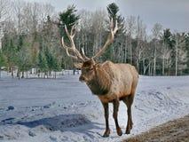 Deer in Quebec. Canada, north America. Deer in Quebec. Canada north America stock images