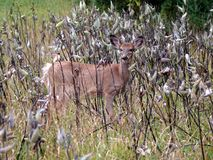 Deer in Quebec. Canada, north America. Royalty Free Stock Photos