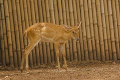 The deer is raised in the zoo. Which the deer is classified as a mammal Has a long, rough brown hair stock photography