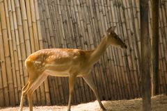 The deer is raised in the zoo. Which the deer is classified as a mammal Has a long, rough brown hair royalty free stock image
