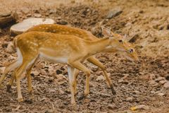 The deer is raised in the zoo. Which the deer is classified as a mammal Has a long, rough brown hair stock image