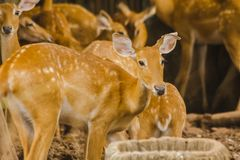 The deer is raised in the zoo. Which the deer is classified as a mammal Has a long, rough brown hair stock photos