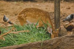 The deer is raised in the zoo. Which the deer is classified as a mammal Has a long, rough brown hair royalty free stock photography